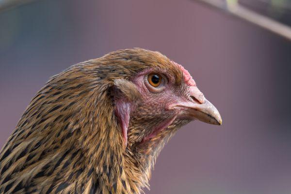 Hühner-4
