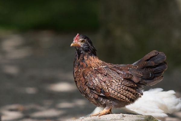 Hühner-6