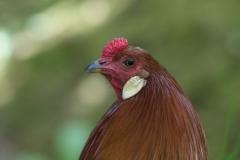 Huhn 8