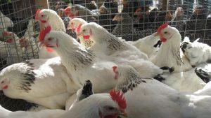 Bestellung Hühner